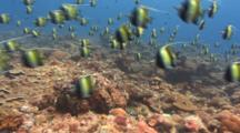 Moorish Idols Spawning Aggregation Hunted By Predators