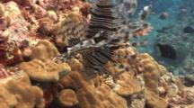 Lionfish Hunting Red-Fin Anthias In Strong Current
