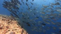 Wide Shot Of Sharks And Schooling Fish Over Coral Reef Drop-Off