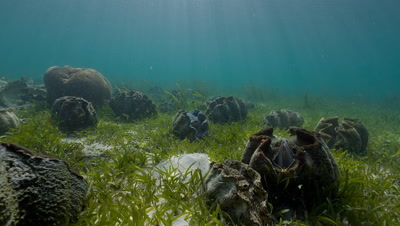 Giant Clam Farm in Sea grass