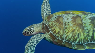 Medium shot of swimming Green Turtle