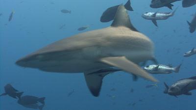 Gray Reef shark swims through fish at camera