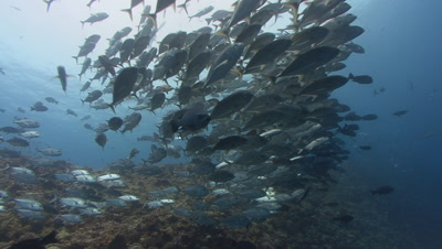 Huge school of silver fish swim towards camera