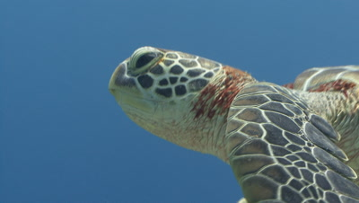 Green Turtle swims close to camera then up to surface