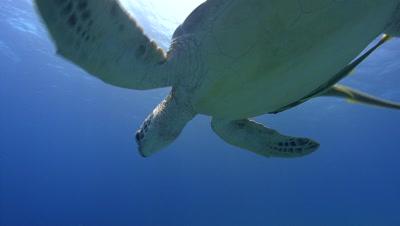 Descending Green Turtle swims into camera
