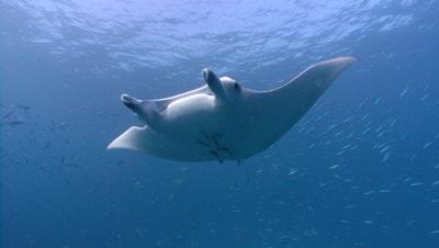 Manta Ray swims toward camerathrough school of fish,hesitates then swims past camera