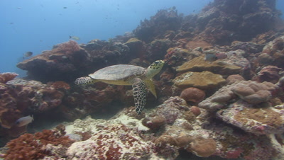 Swimming Hawksbill Turtle appears from behind coral head