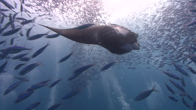 Manta Ray loops in front of SCUBA Divers