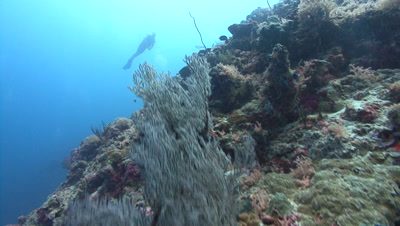 Group of Divers revealed from behind sea fan as camera ascends