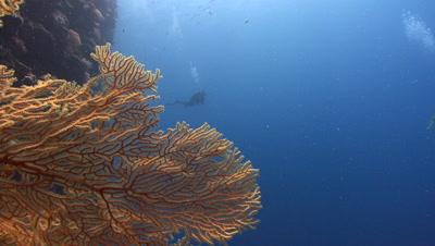SCUBA Diver revealed from behind Orange Sea Fan