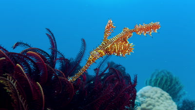Ornate Ghost Pipefish above crinoid in artificial light at 35mm