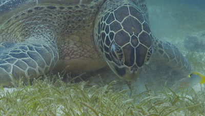 Close up of Large Green Turtle feeding on sea grass