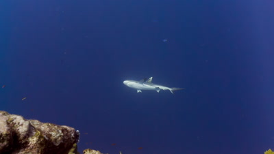 Gray Reef Shark with missing Pectoral fin swims in blue water
