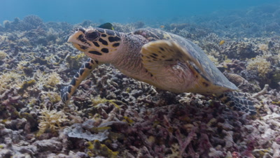 Traveling shot of Feeding Hawksbill Turtle who then swims away