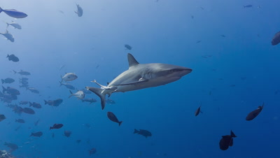 Gray Reef Shark swims past camera