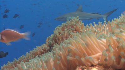 Gray Reef Shark appears from behind Anemone