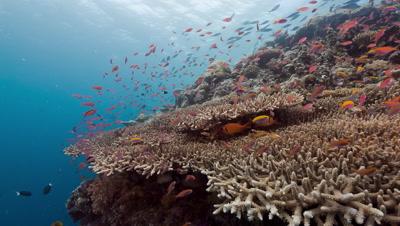 Bright red fish school above corals