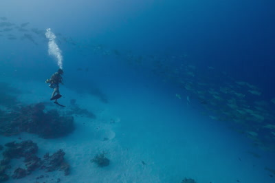 SCUBA Diver watches a spawning aggregation of Bumphead Parrotfish
