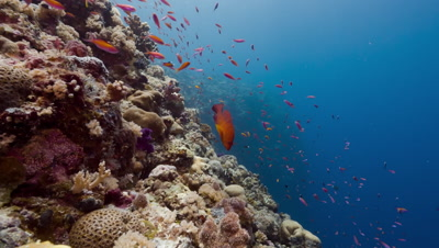 Red fish school and swim over sunlit coral reef