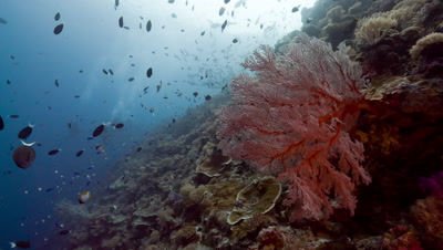 Large Red sea fan, tropical fish and scuba divers
