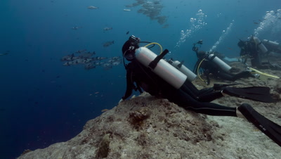 SCUBA Divers cling to rock in current, camera tilts up to show huge school of fish