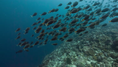 Large school of spawning fish hunted by sharks