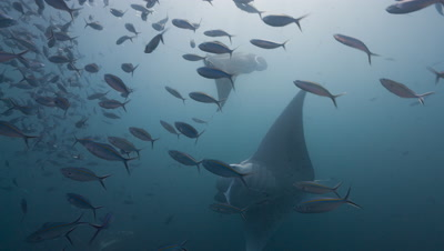 Feeding Manta Rays revealed behind school of fish