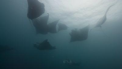 10 Manta Rays swim and barrel feed