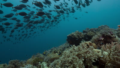Introduction to large school of spawning Orange-spine surgeonfish swimming over reef towards static camera.