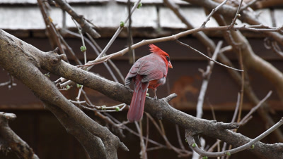 Male Cardinal hunting in branches near a house - | No color grading