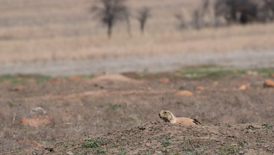 Black-tailed prairie dog (Cynomys ludovicianus) A scout watches for predators on the Front Range of Colorado. (Non-Graded)