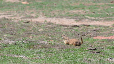 Black-tailed prairie dog (Cynomys ludovicianus) watches for predators on the Front Range of Colorado
