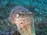 Broadclub Cuttlefish Flaring Colors!