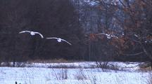 Trio Of Japanese Red Crowned Cranes Landing 004