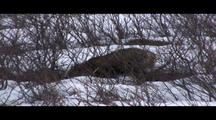 Cross Fox Caches Snowshoe Hare In Snow  019