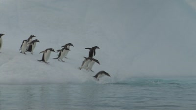 Gentoo Penguins Scurry Into Sea From Iceberg Formation Antarctica