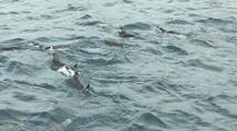 Chinstrap Penguins Preening Feeding Antarctica