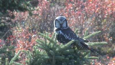 Northern Hawk Owl In Spruce Tree Alaska