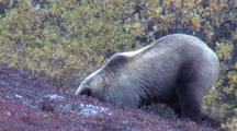 Grizzly Digs After Arctic Ground Squirrel
