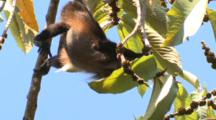 Black Howler Monkey Hangs By Tail To Feed On Fruit
