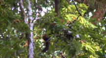 Spider Monkey Hangs Feeds In Tree Canopy Costa Rica