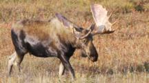 Alaskan Bull Moose Feeds On Willows Walks Right Looking At Camera