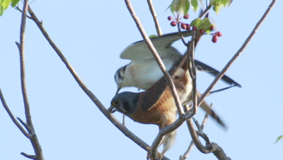 Kestrel Pair Mates In Tree