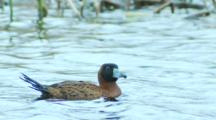 Male Masked Duck Floats On Pond Then Dives In Pond Seq 3