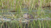 Muskrat Feeds On Reeds In Kettle Pond Seq 1