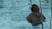 Male Masked Duck Floats On Pond Then Dives In Pond Shortseq 2