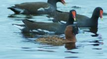 Male Masked Duck Harassed By Moorehens Dives Under Water