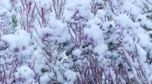 Snow Covered Fireweed In Slight Breeze Alaska Seq 1