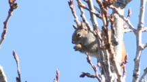 Spruce Squirrel Eats Alder Buds In Spring Alaska