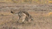 Gray Wolf Digs Tundra For Arctic Ground Squirrel Alaska